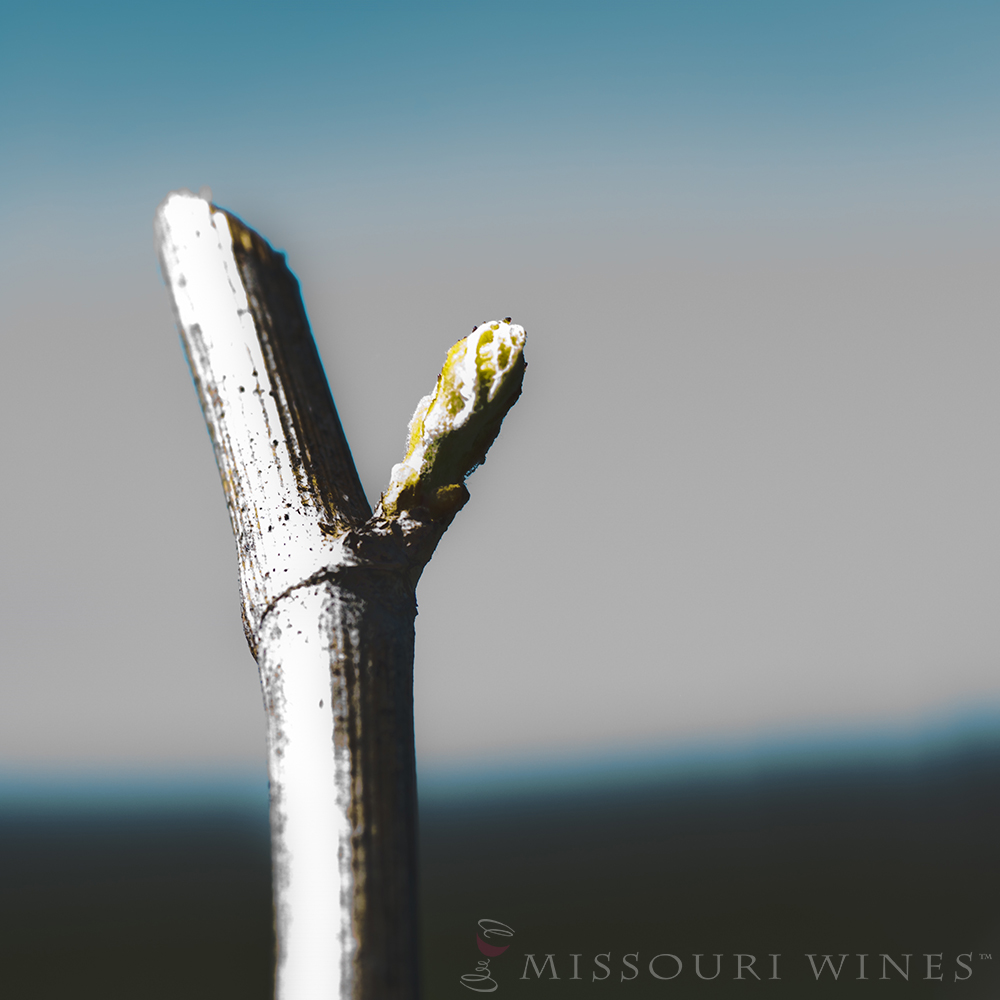 Bud break in Missouri vineyard. Spring awakens the vines.