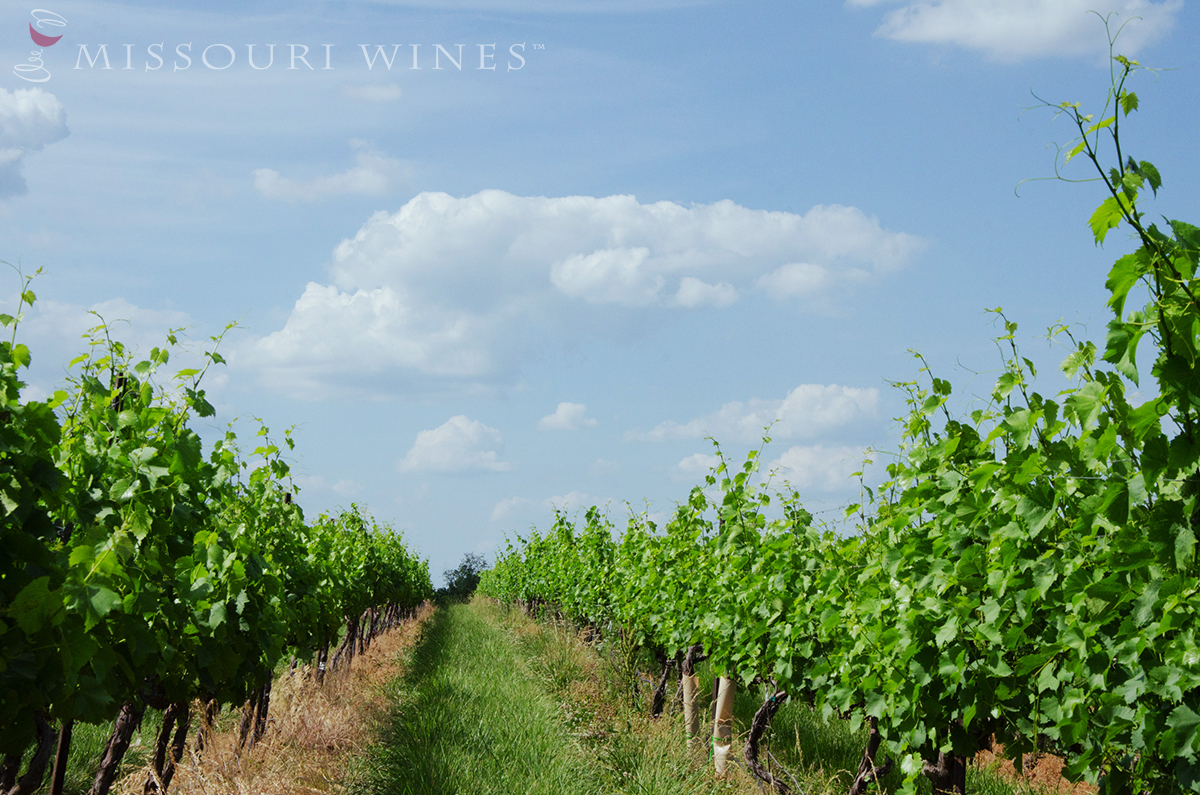 Fruit Set- The next stage in the growth cycle of Missouri vines.