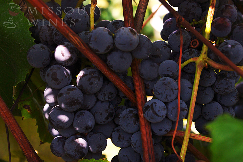 Missouri red grapes on the vine