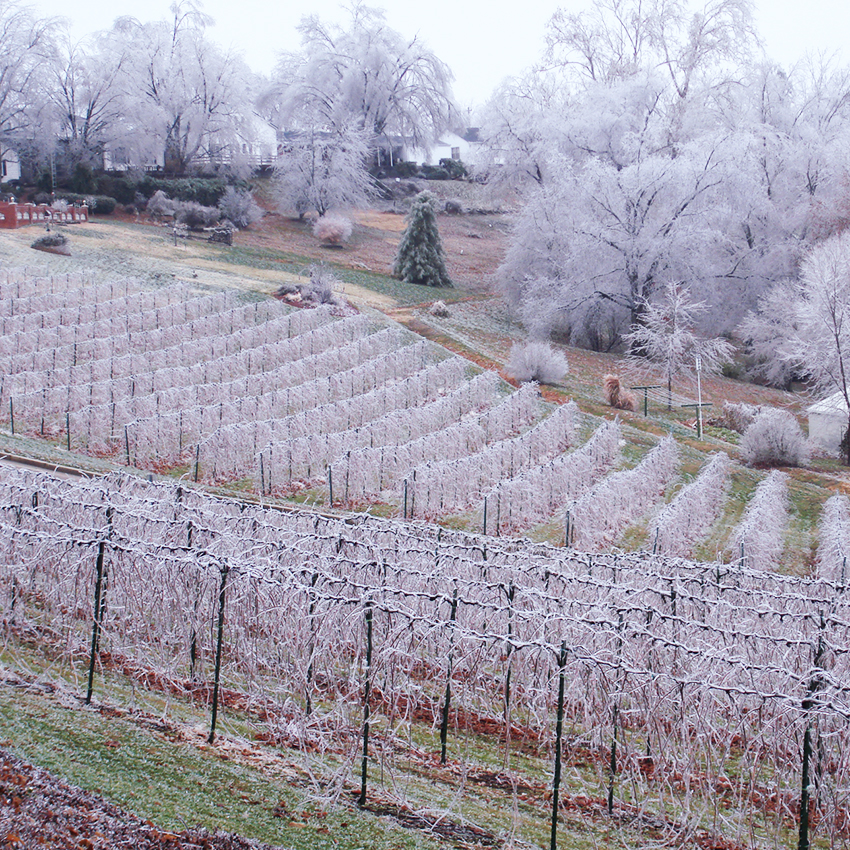 Ice covered vineyard at Stone Hill Winery | MO Wine