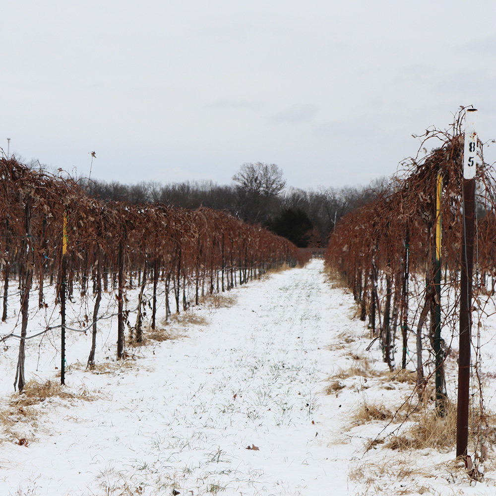 Winter in the vineyards at St. James Winery | MO Wine