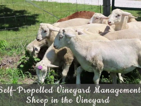 Embedded thumbnail for Self-Propelled Vineyard Management: Sheep in the Vineyard
