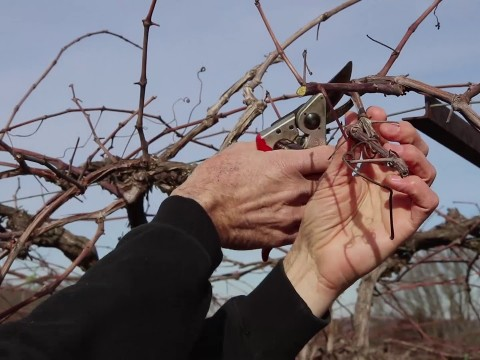 Embedded thumbnail for Vineyard Pruning Tips