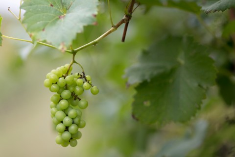 Sustainability Secrets of the Vineyard