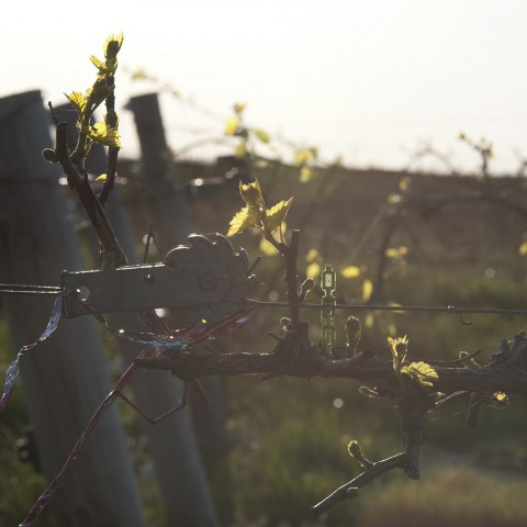 Bud Break in the Vineyard