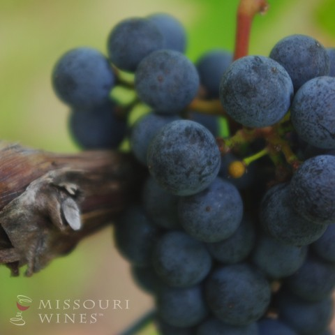 A bunch of Chambourcin grapes in Missouri wine country
