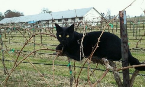 Cat in the vineyards