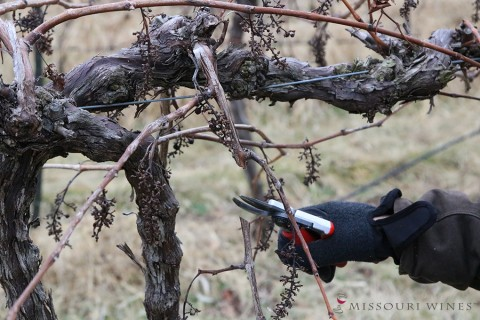 Pruning Vignoles Vines